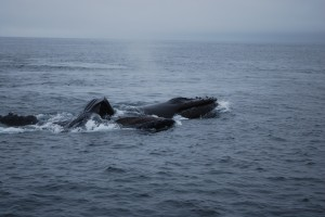 Lunge feeding humpbacks filling their three stomachs