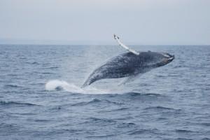 Humpback calf breeching