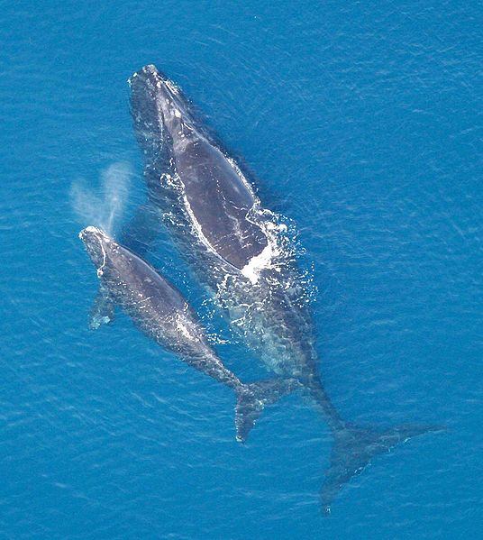 Endangered North Atlantic right whale and calf, baleen whales