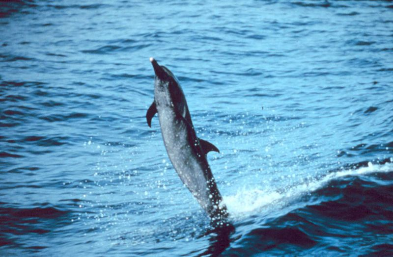 Pantropical spotted dolphin, a common victim of bycatch