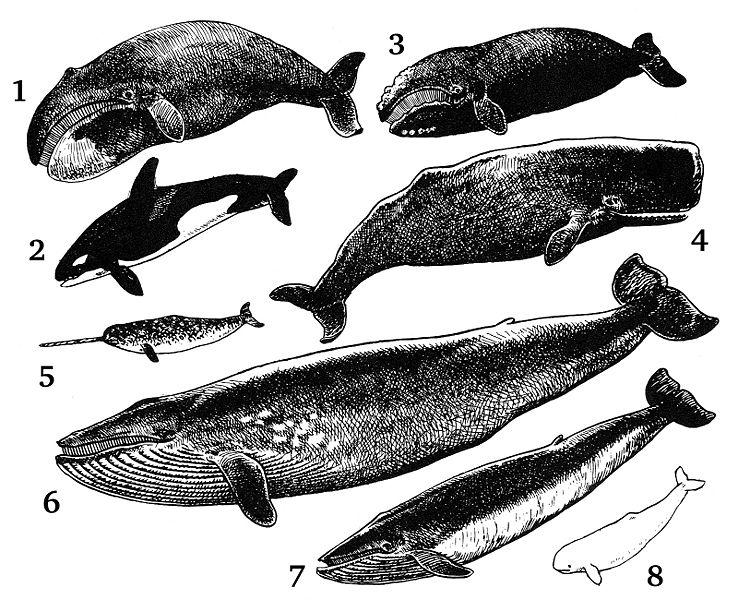 Modern whales