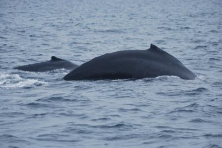 Humpback whale cow/calf pair