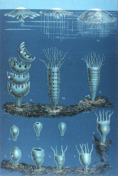 sea jellies have quite the life cycle