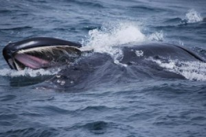 Humpback whale's mouth featuring baleen