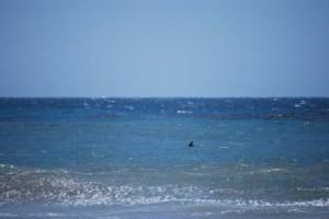 Dolphin on patrol