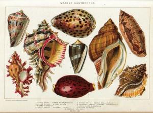 Marine gastropods