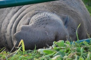 Northern elephant seal sleeping
