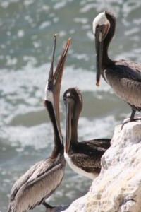 California brown pelicans