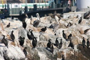 Brandt's cormorants and brown pelicans