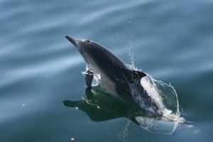 Common dolphin rocket