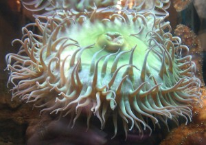 Green see anemone