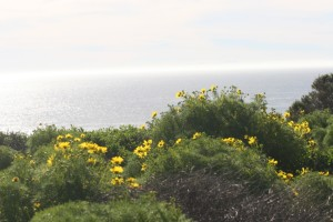 Point Dume flowers