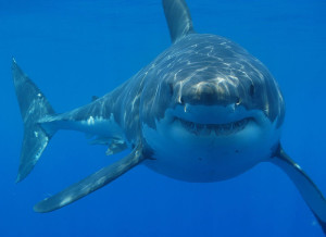 Great white shark smiling