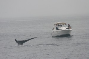 Blue whale near boat2