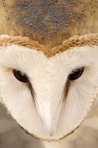 MaHarry Owl