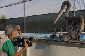 Pelican dreams1