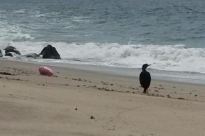 Cormorant and balloon