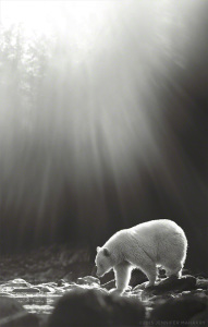 Spirit Bear Photo by Jennifer MaHarry