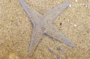 Sand star four arms
