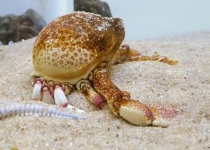 globe crab